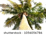 coconut palm tree isolated | Shutterstock . vector #1056056786