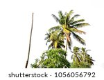 coconut palm tree isolated | Shutterstock . vector #1056056792