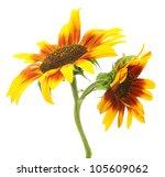 Beautiful Sunflowers   Isolate...