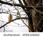 Kapok  Capoc On Tree Or White...