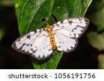 Small photo of Close up of Abraxas sp. (Magpie) moth perching on green leaf in nature, dorsal view