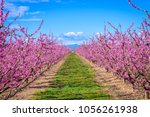 Peach Trees Blooming In The...