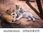 lions and white tiger on the... | Shutterstock . vector #1056318155