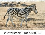 a side view of a cape zebra in... | Shutterstock . vector #1056388736