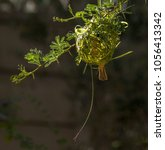 Small photo of Male lesser masked weaver bird building a nest