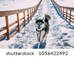husky on a bridge with a stick | Shutterstock . vector #1056422492