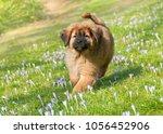 a cute young tibetan mastiff...   Shutterstock . vector #1056452906