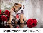 Small photo of English bulldog puppy wearing bow tie