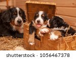 Stock photo puppies bernese sennenhund basket beautiful sennenhund puppies are sitting in a wooden box a 1056467378