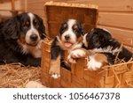 Stock photo puppies bernese sennenhund basket beautiful sennenhund puppies are sitting in a wooden box a 1056467378