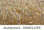 grains ripening in the field ... | Shutterstock . vector #1056511295