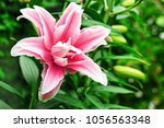 lily flower in garden. commonly ...
