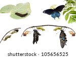 Metamorphosis Of Butterflies  ...
