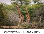 Two Running Giraffes  Safa In...