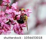 Bumblebee On Redbud Flowers  ...