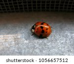 Lonely Red Glossy Ladybug...
