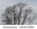 A Murder Of Crows Perching On ...