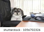 Small photo of Very Cute Parti Colored Female Havanese dog is acting bossy during bring your dog to work day