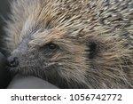 hedgehog erinaceinae mammalia | Shutterstock . vector #1056742772