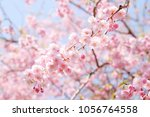 cherry blossoms in spring | Shutterstock . vector #1056764558