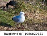 a dainty white  seagull seabird ... | Shutterstock . vector #1056820832