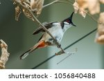 the red whiskered bulbul or... | Shutterstock . vector #1056840488