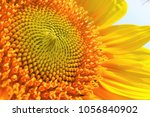 beautiful sunflower is an... | Shutterstock . vector #1056840902