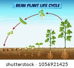 diagram showing bean plant life ... | Shutterstock .eps vector #1056921425