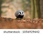 portrait of european badger ... | Shutterstock . vector #1056929642