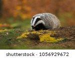 portrait of european badger ... | Shutterstock . vector #1056929672