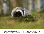 portrait of european badger ... | Shutterstock . vector #1056929675