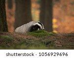 portrait of european badger ... | Shutterstock . vector #1056929696
