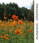 beautiful mexican aster in the...   Shutterstock . vector #1056950462