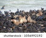 cape fur seals adults and...   Shutterstock . vector #1056992192