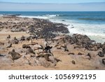 cape fur seals adults and...   Shutterstock . vector #1056992195