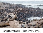cape fur seals adults and...   Shutterstock . vector #1056992198