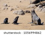 seals  cape fur seal adult and...   Shutterstock . vector #1056994862