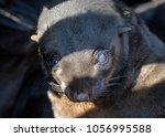 seal baby  cape fur seals...   Shutterstock . vector #1056995588