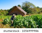 Small photo of Tobacco farmer in the tobacco field at work