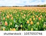 spring in amsterdam. field of... | Shutterstock . vector #1057053746
