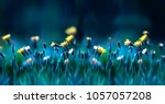 Stock photo floral summer spring background yellow dandelion flowers close up in a field on nature on a dark 1057057208