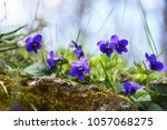 Spring Nature Common Violets...