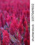Small photo of Pink Celosia Field