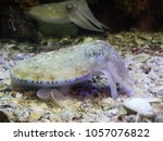 Small photo of The pharaoh cuttlefish in aquarium tank. Sepia pharaonic is a large cuttlefish species in the family Sepiidae.