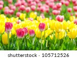 flowers tulips in the garden | Shutterstock . vector #105712526