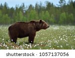 side view of brown bear. adult... | Shutterstock . vector #1057137056