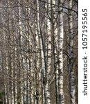 spring birch trunks in the... | Shutterstock . vector #1057195565