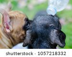 baby french bulldog puppy drink ... | Shutterstock . vector #1057218332
