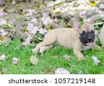 baby french bulldog puppy. dog... | Shutterstock . vector #1057219148