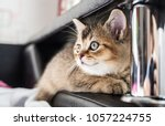 Stock photo a nice cute kitten british golden chinchilla is sitting on the couch close up 1057224755